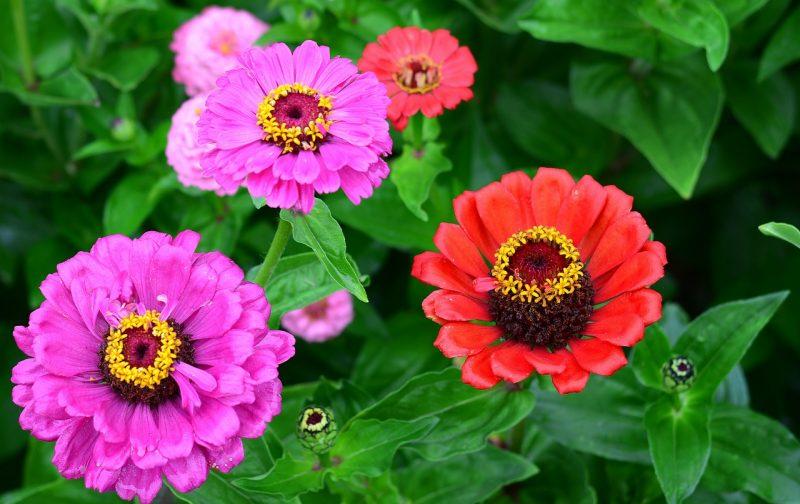 Zinnia best flowers for full sun