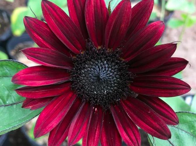 Black beauty sunflowers