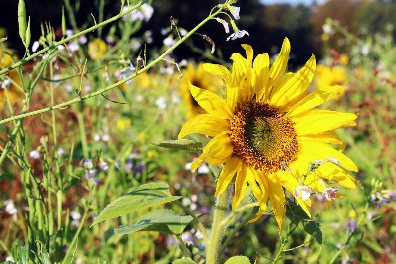 Dwarf sunspot types of sunflowers
