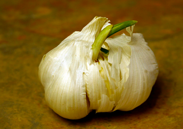 Sprouted garlic bulb