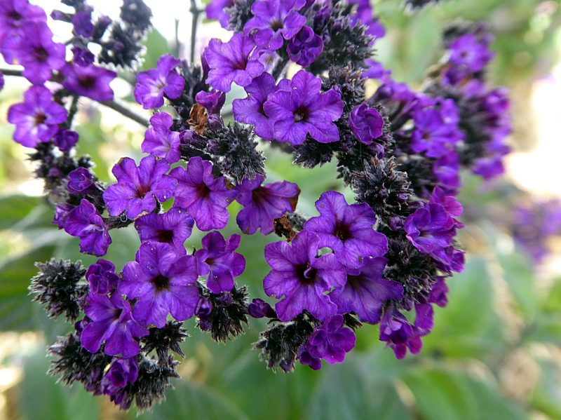 Heliotropes are ideal hanging flowers