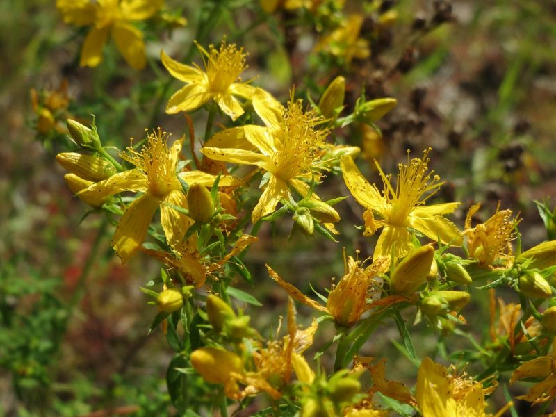 St. John's Wort is one of the best flowers for skin care