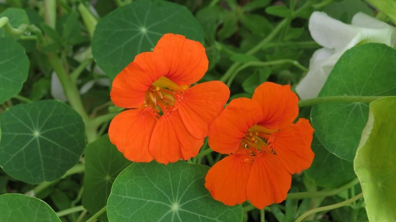 Nasturtiums are ideal hanging flowers