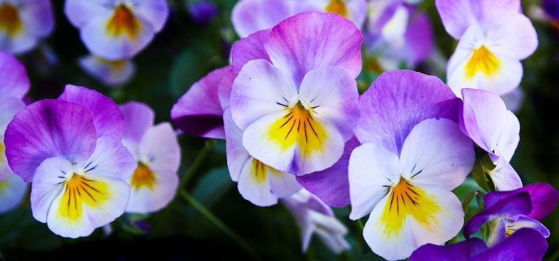 Pansies are gorgeous hanging flowers for baskets