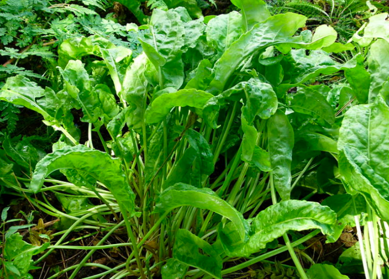Harvesting sorrel plants
