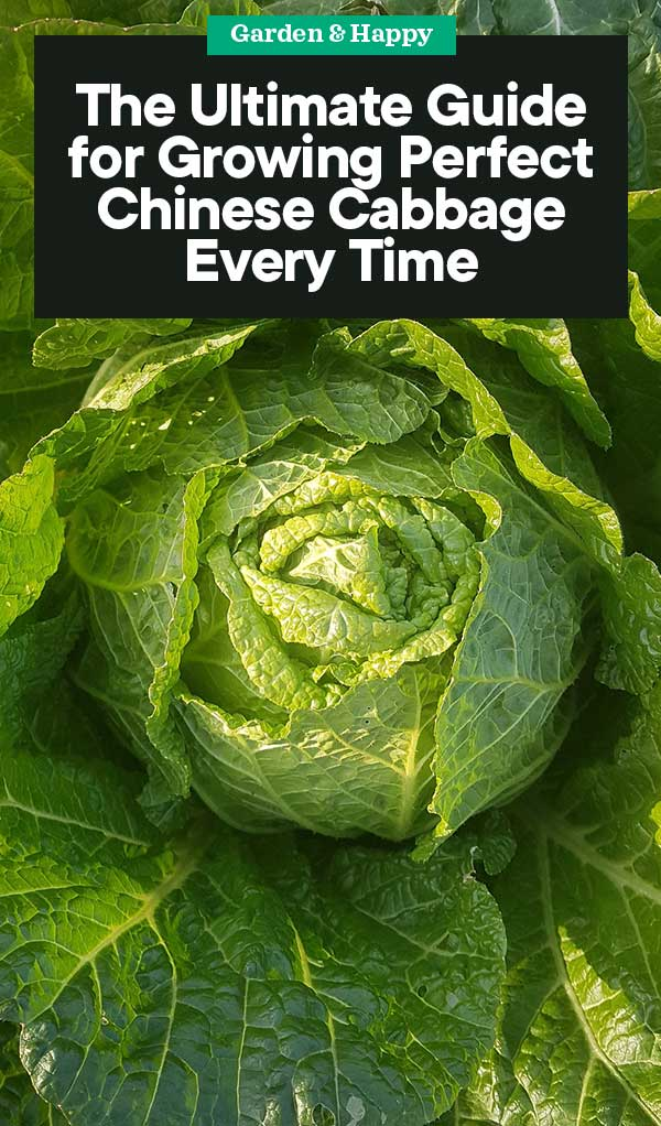 The Ultimate Guide For Growing Chinese Cabbage Garden And Happy