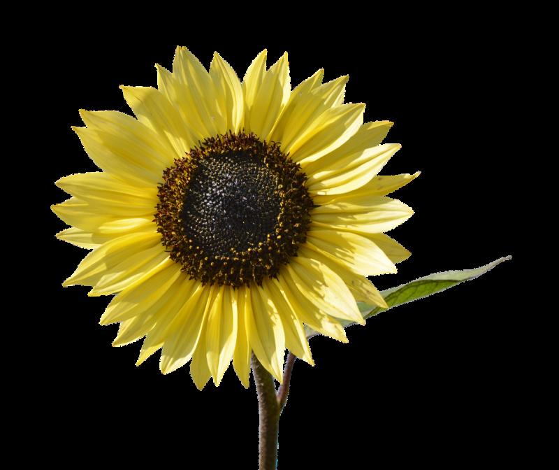 Limoncello sunflower