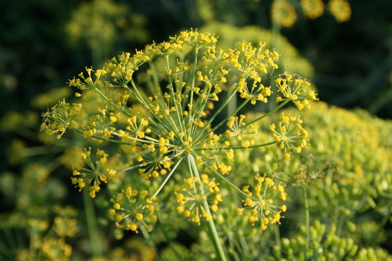 The best dill plant for you
