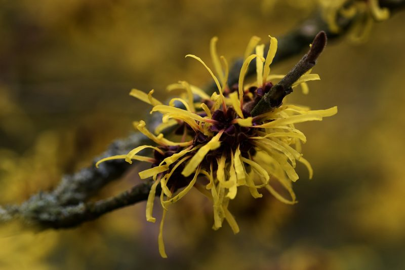 Witch hazel