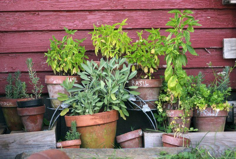 Herbs container garden