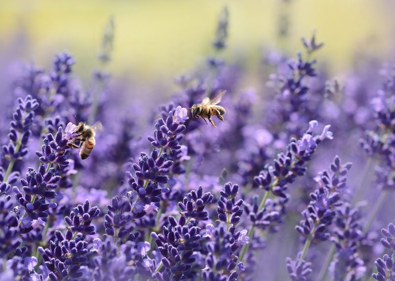 Lavender is perfect for a bee garden