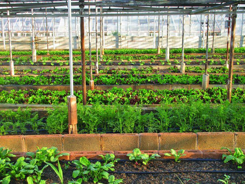 Perennial greens garden