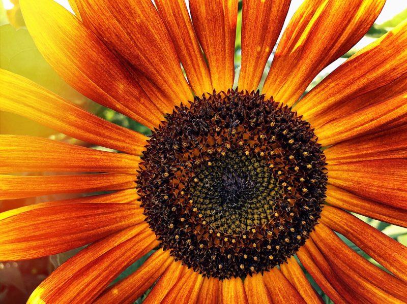 Autumn types of sunflowers