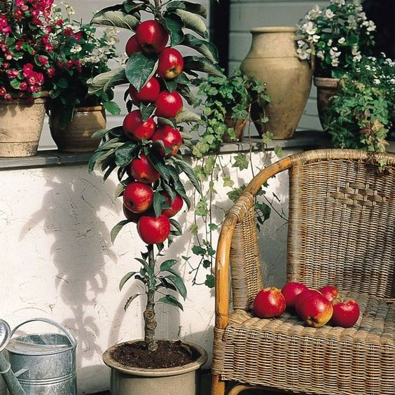Patio potted apple tree