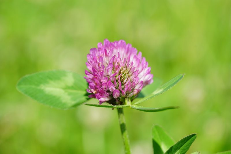 Red clover is ideal for green manure