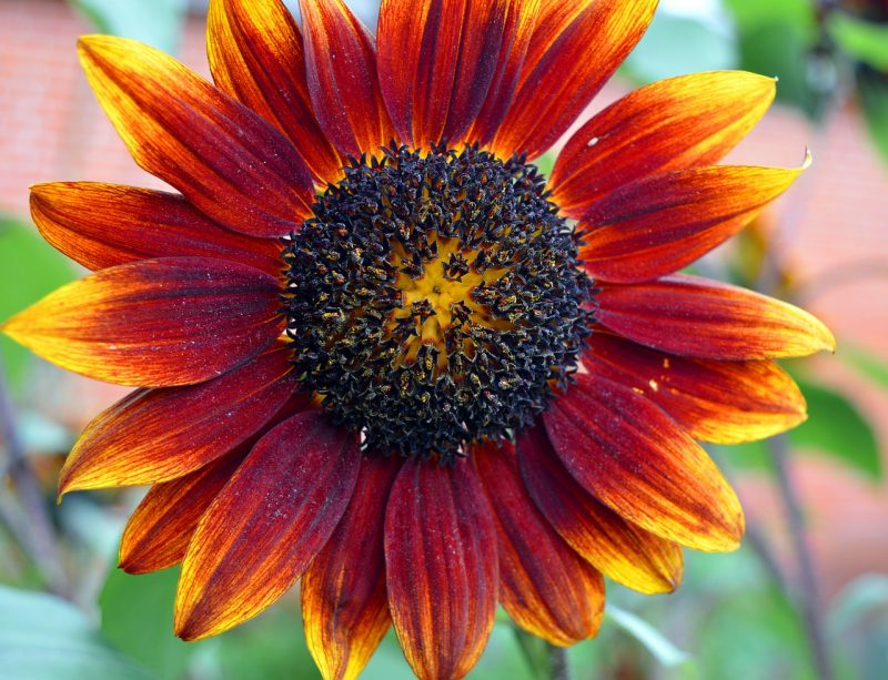 Ruby Sunflower