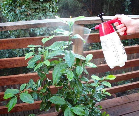 Spraying compost tea