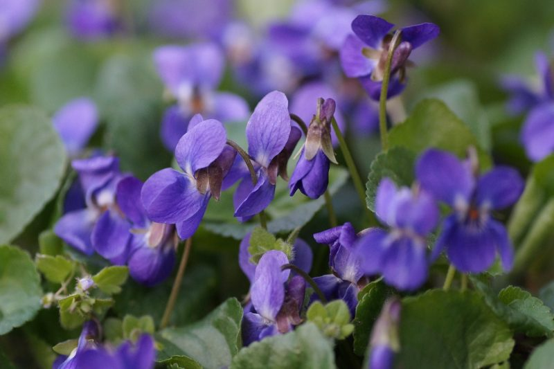 Violets and violas