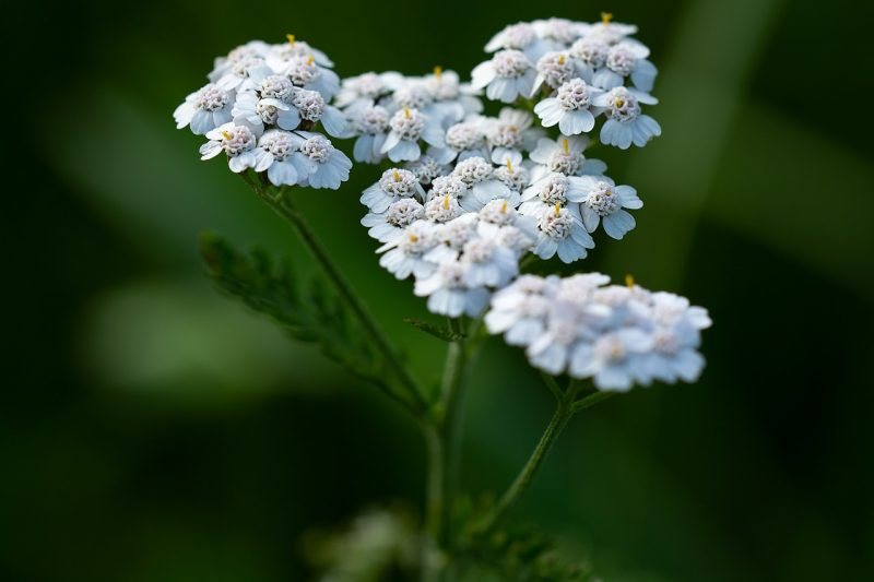 Yarrow is among the best flowers for skin care