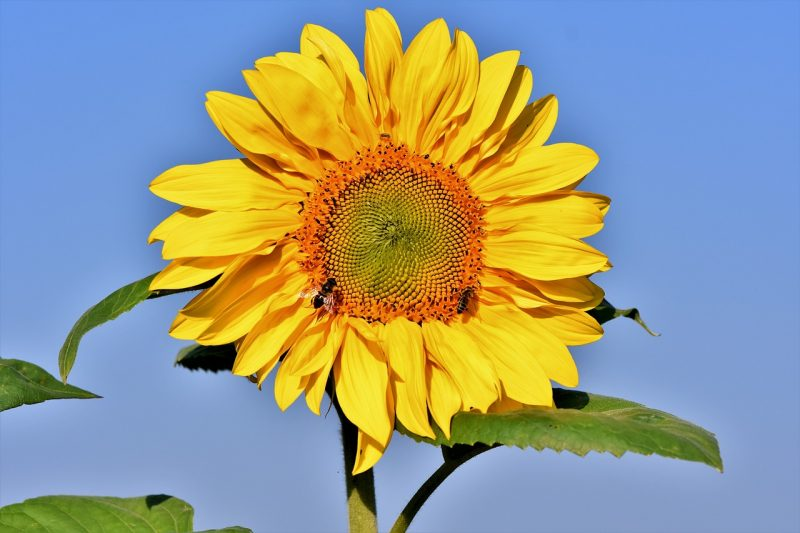 California Greystripe types of sunflowers