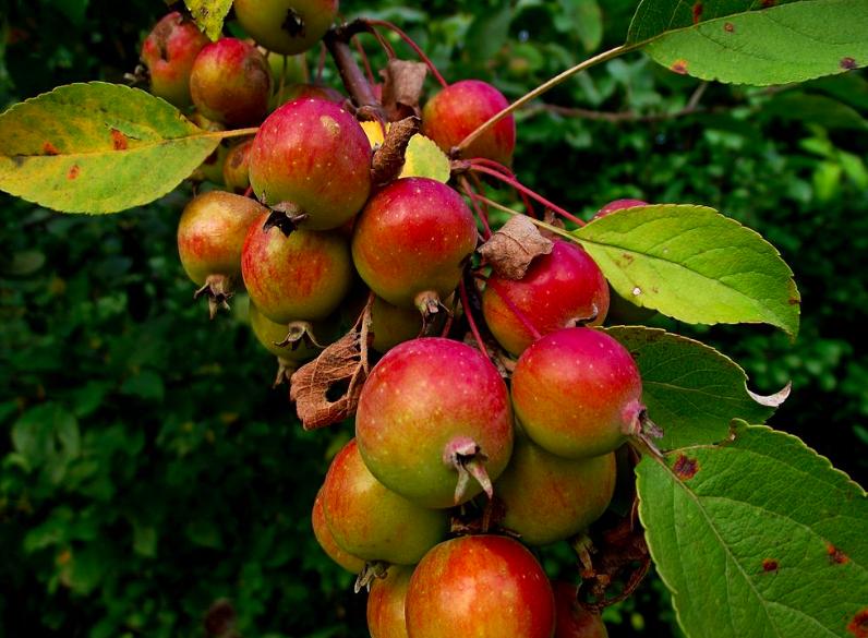 Columnar Apple Trees
