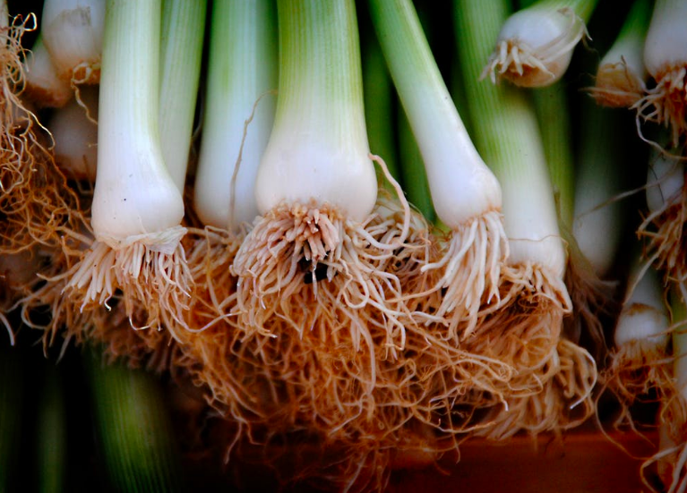 Growing green onions from cuttings