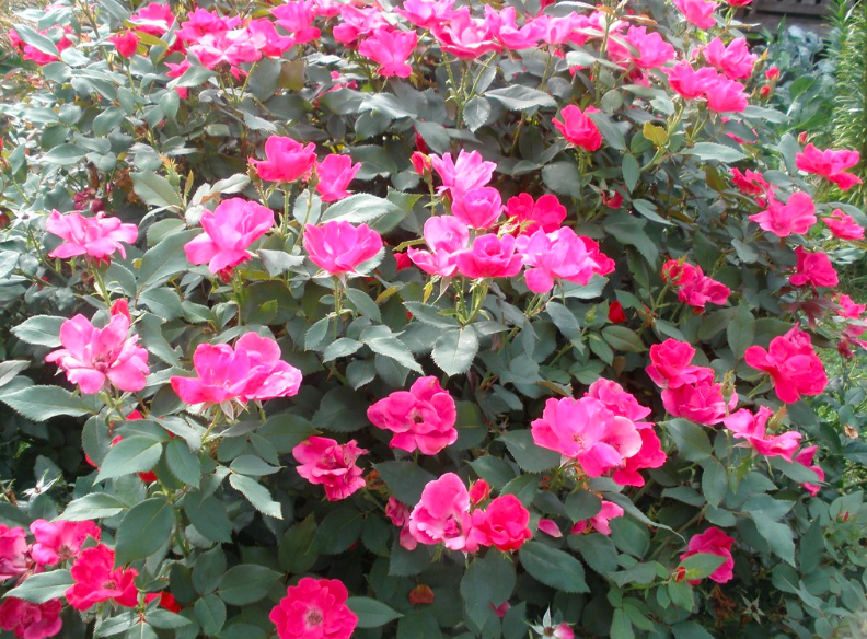Pink knockout roses