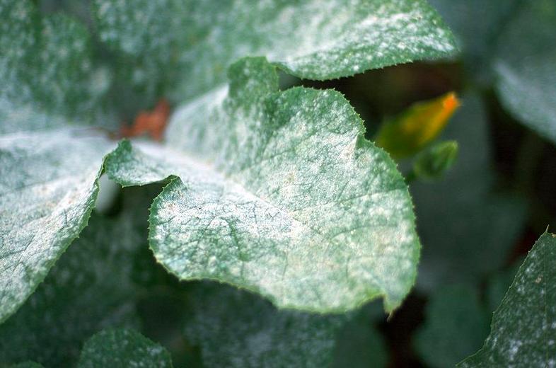 Identifying powdery mildew