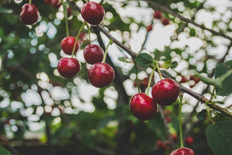 Cherry trees are often sold as bare root fruit trees