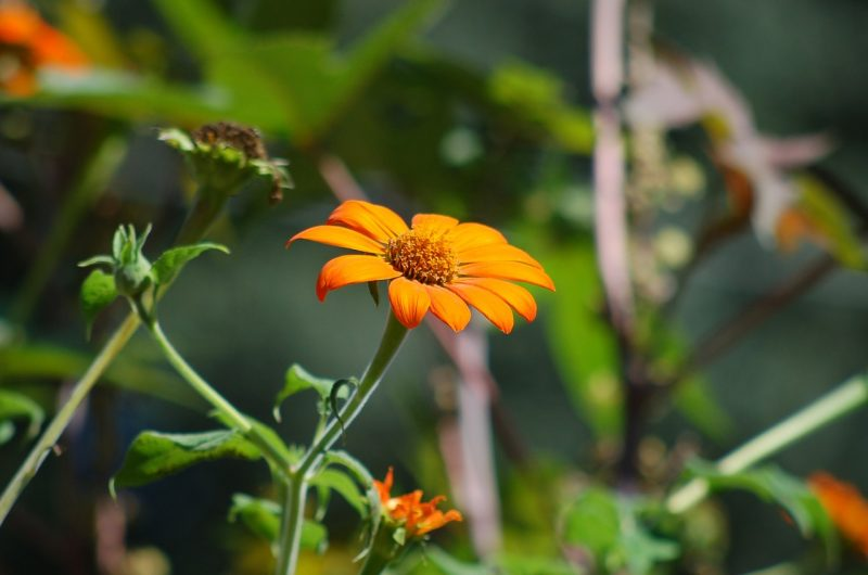 Potential Mexican sunflower problems