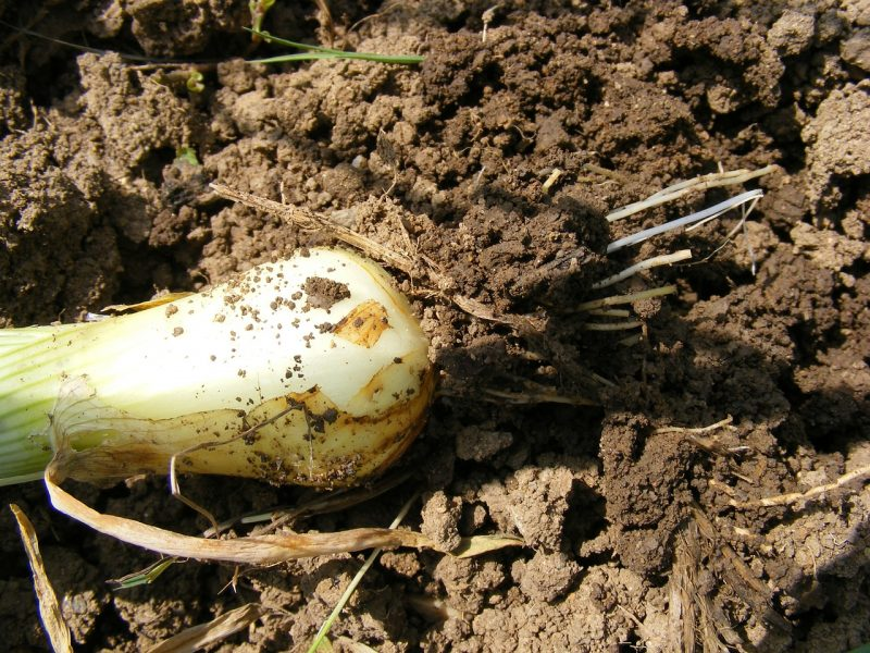 Methods for growing green onions