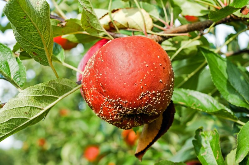 Apple blight