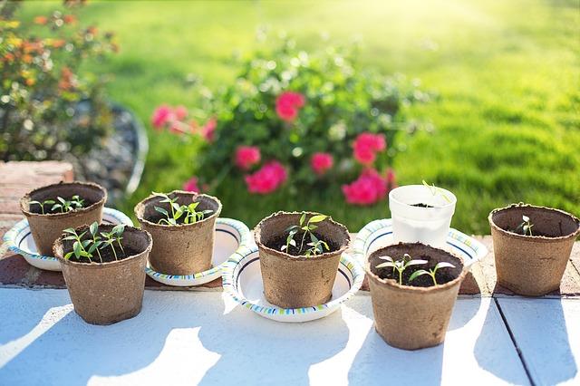 Bell pepper plants seedlings