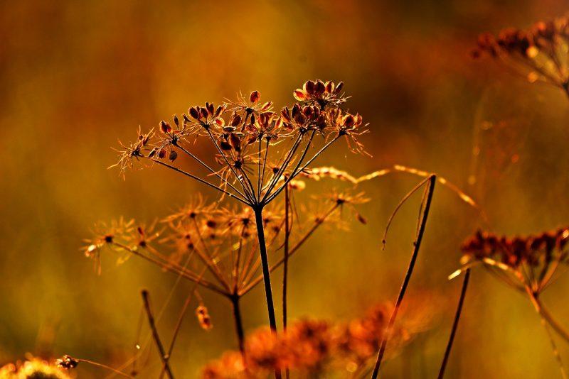 Valerian plant seeds