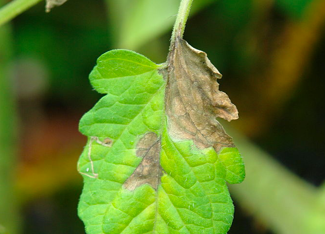10 Common Tomato Plant Diseases And