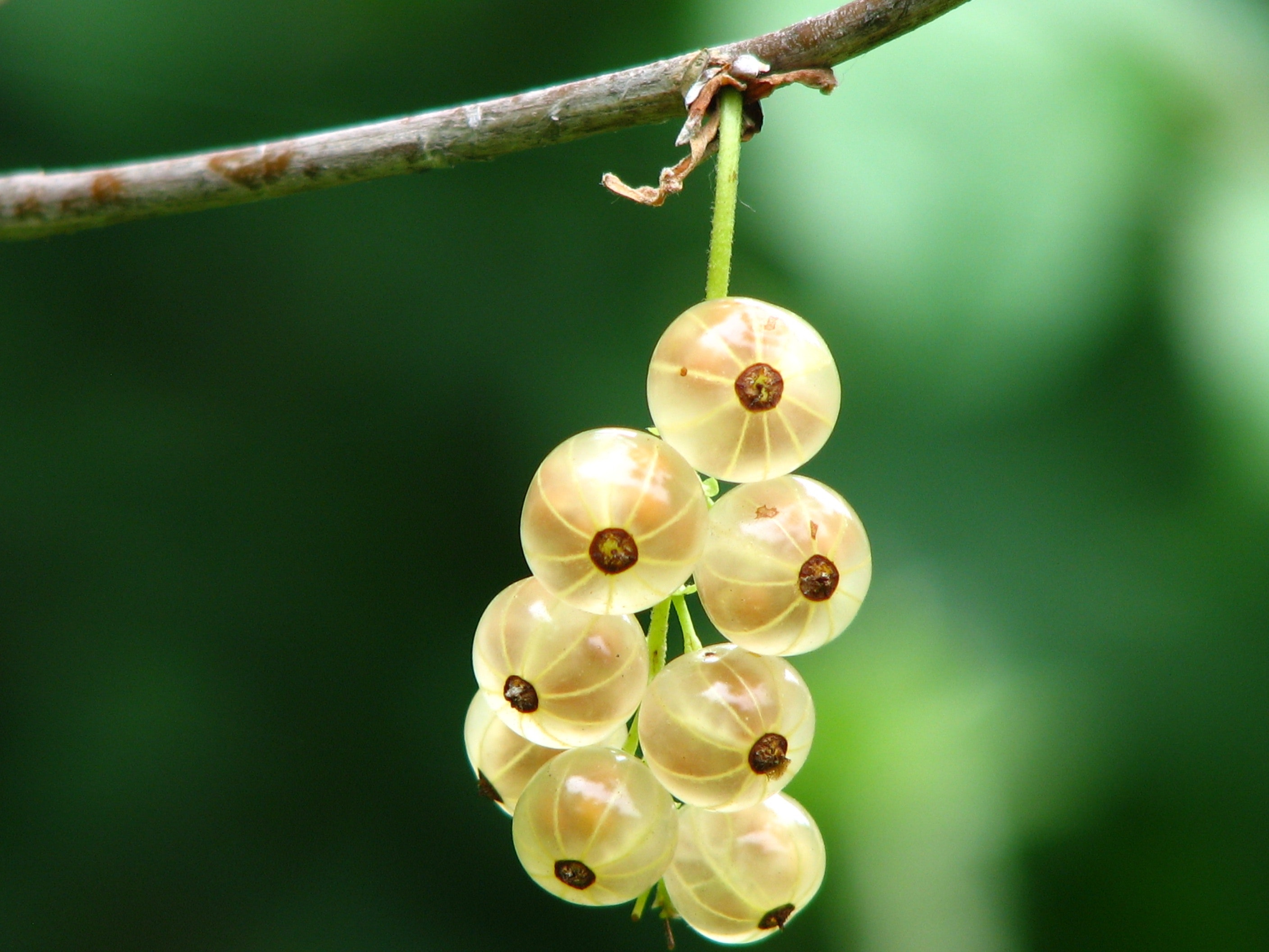Gorgeous Gooseberries: A Go-to-Guide on How to Grow Them