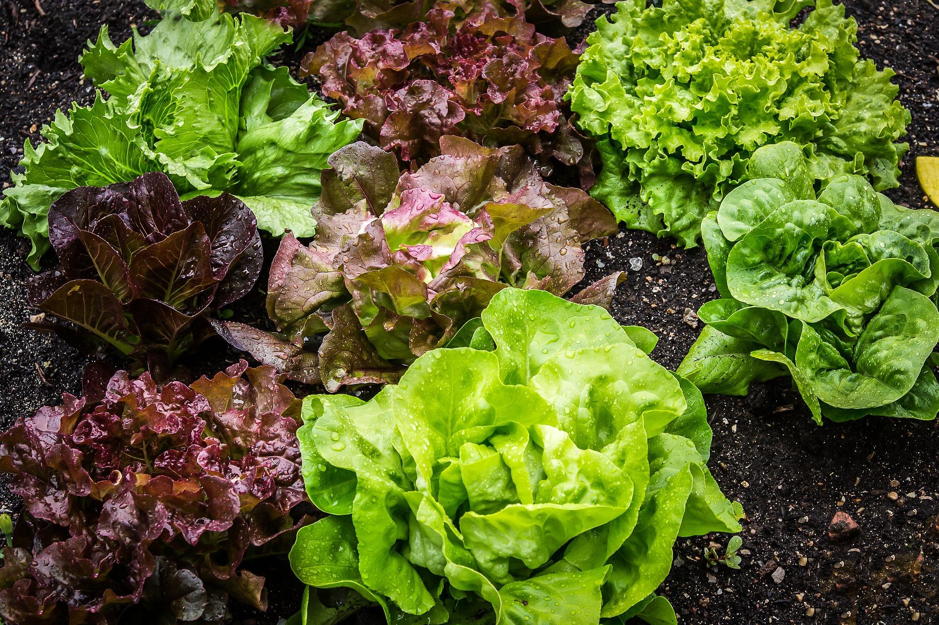 15 of the Best Lettuce Varieties to Grow for Backyard Gardeners