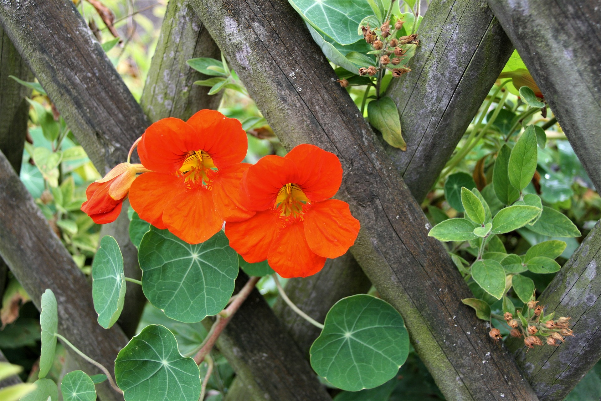 14 Great Reasons Why You Need Nasturtiums in Your Garden, Today!