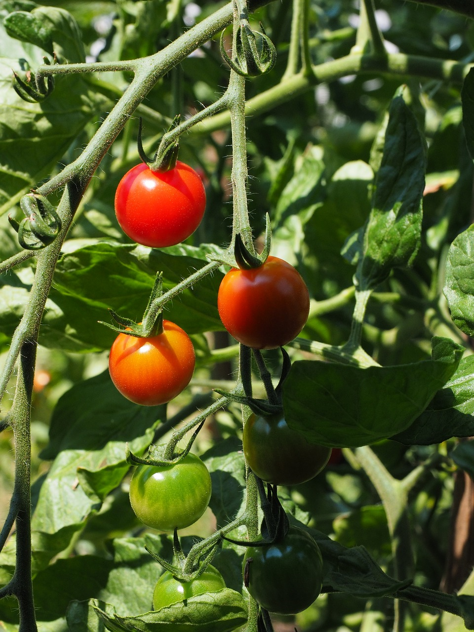Our Fail-Proof, 6 Successful Step Guide on How to Ripen Green Tomatoes