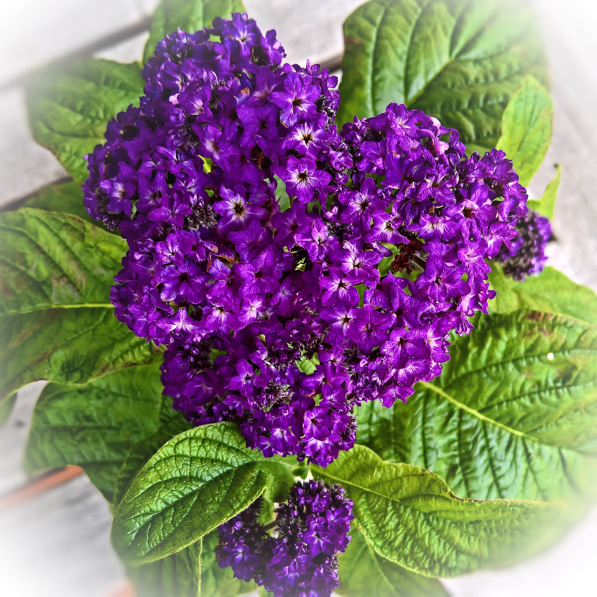 Your Starter Guide to Growing Beautiful Heliotrope Flowers