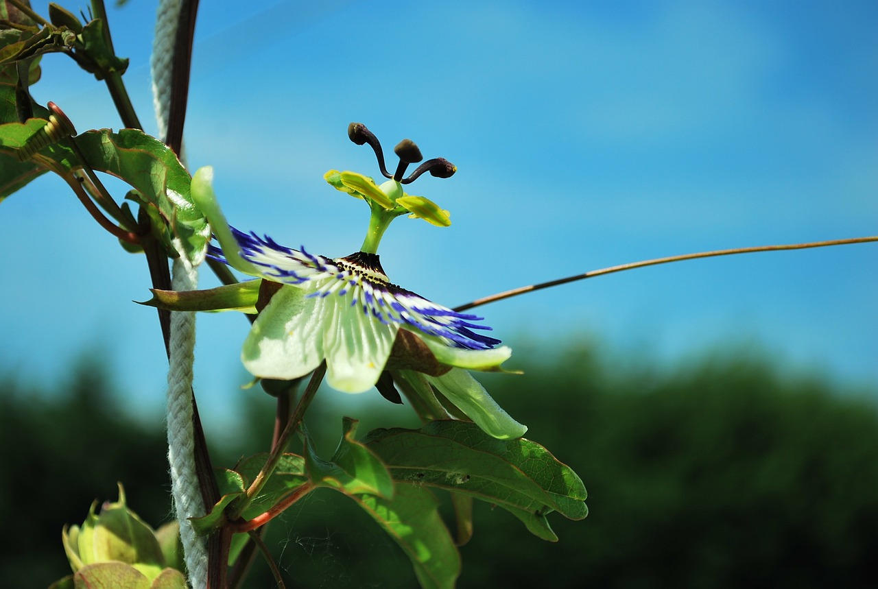 A Detailed Guide to Growing Purple Passionflower