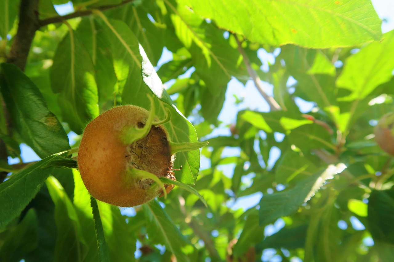 What's a Medlar? Learn All About this Fascinating Medieval Fruit