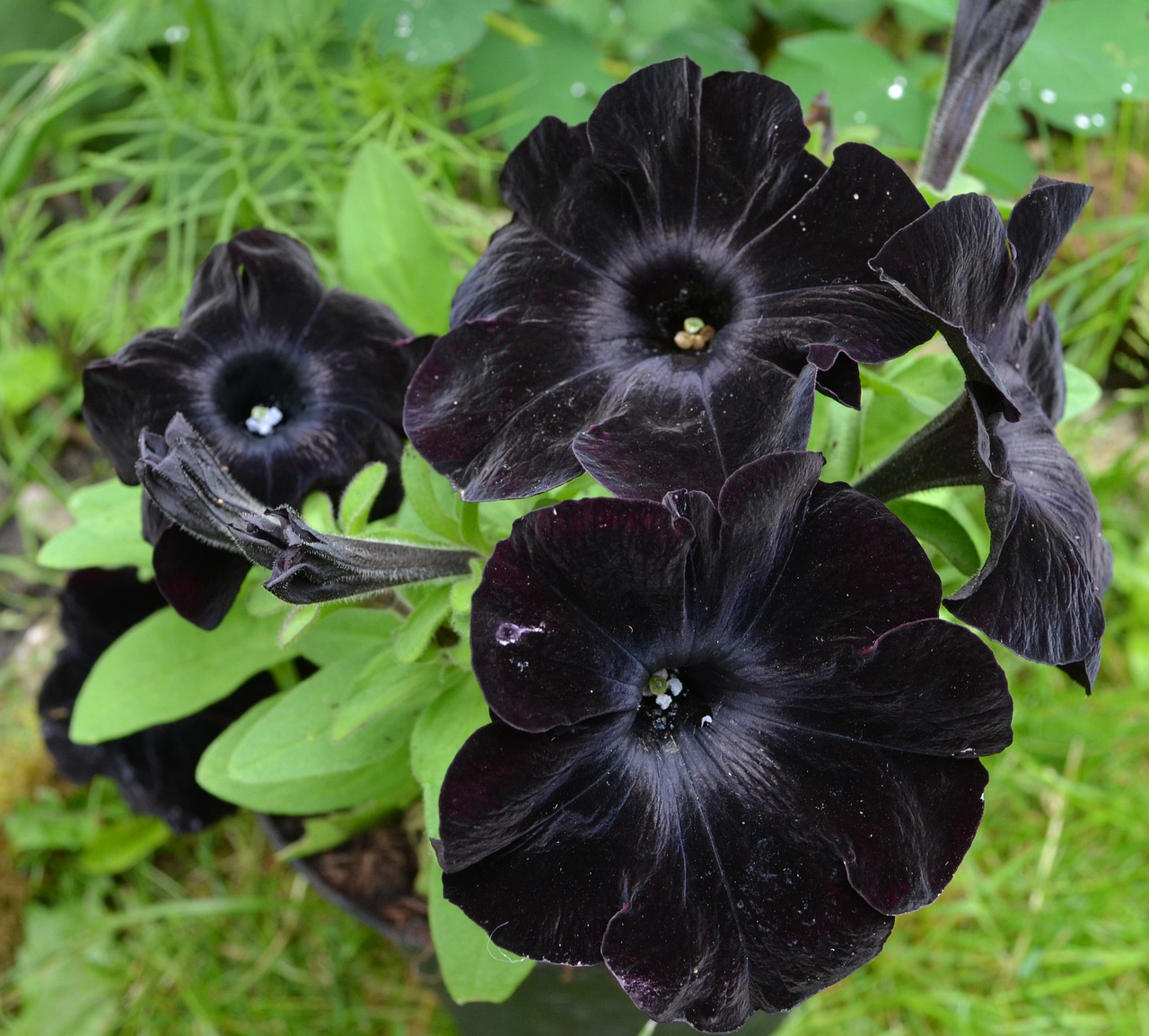 20 Stunning Black Flowers Morticia Addams Would Love