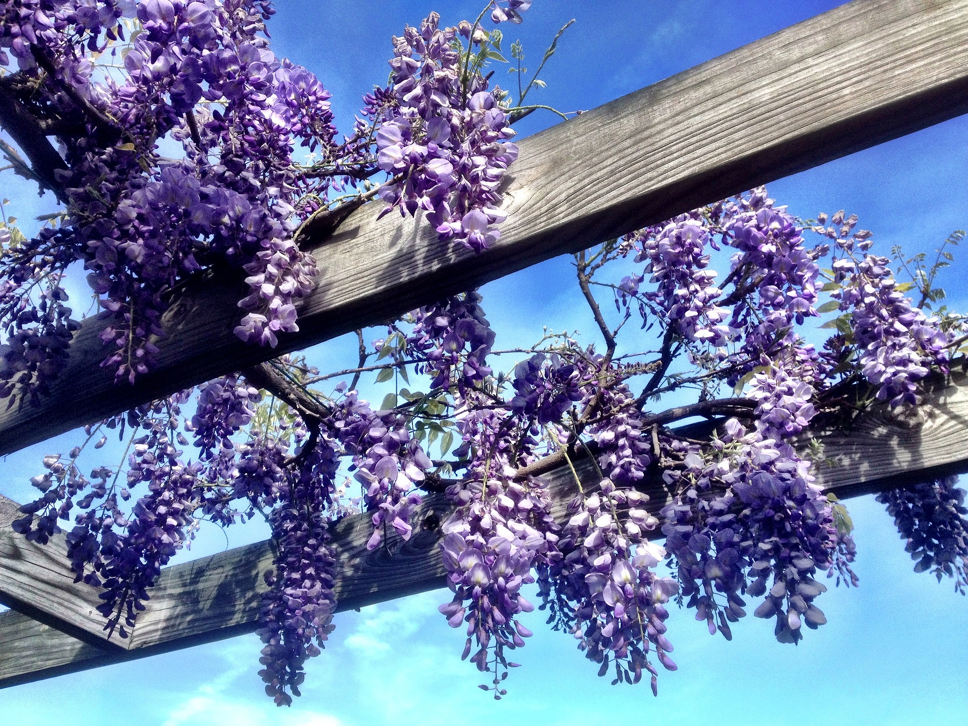 An Easy, Practical Care Guide for Your Beautiful Wisteria Vine