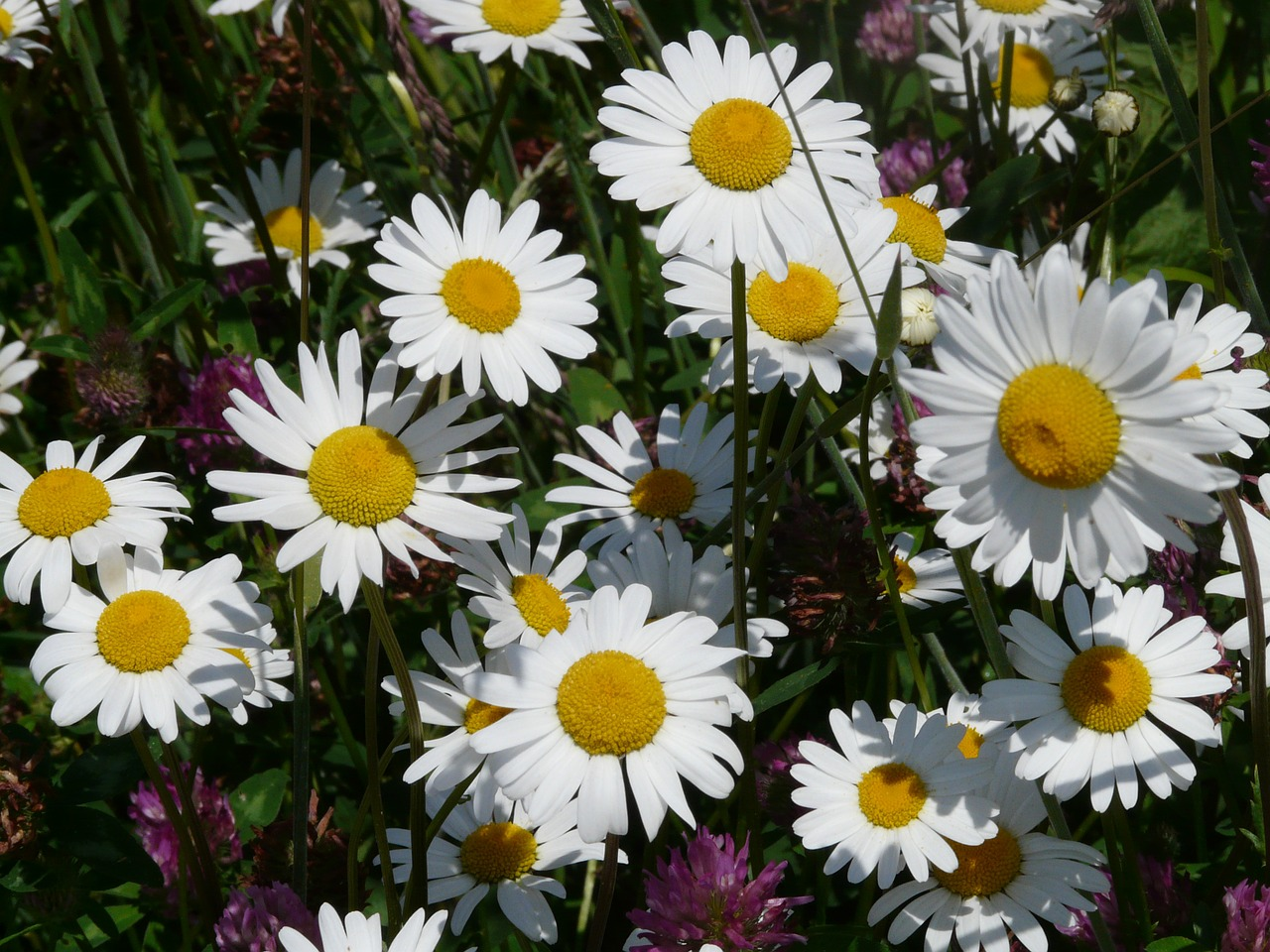 What is the Feverfew Plant and What is it Good For?