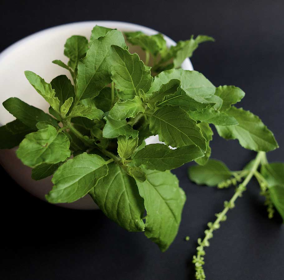 A Complete and Easy Guide to Growing Tulsi Plant