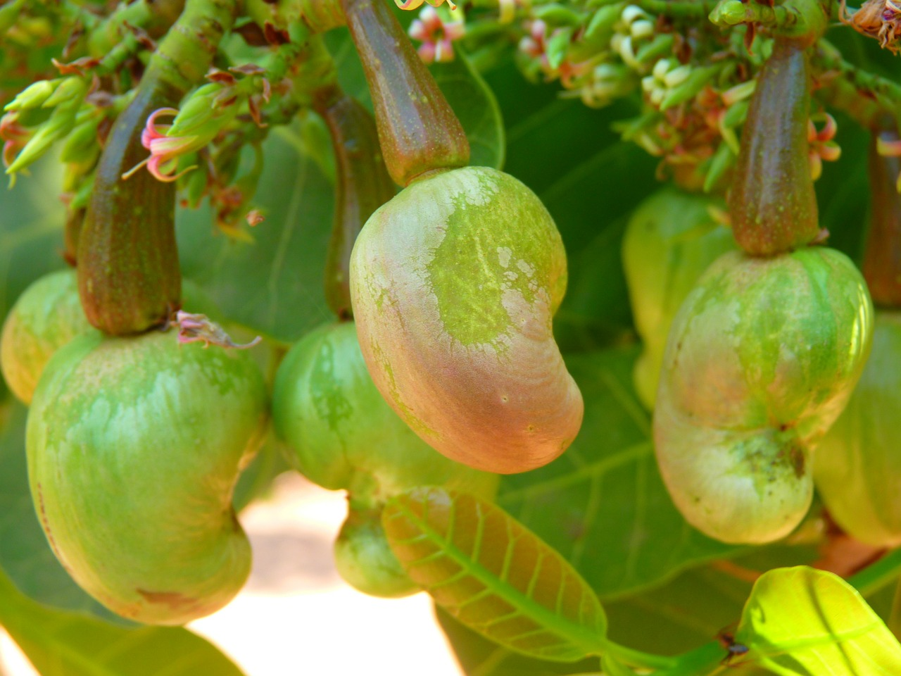The Complete Guide to Growing a Thriving Cashew Tree