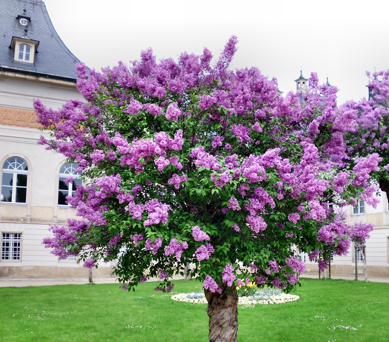 9 Helpful Tips for Growing a Beautiful Lilac Tree at Home