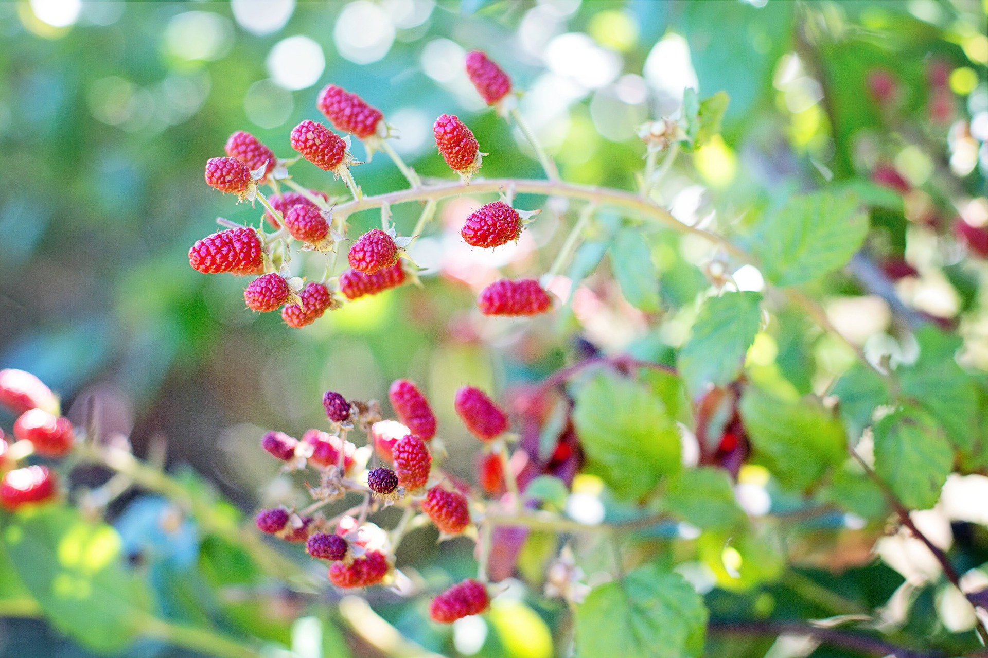 Tips and Advice for Growing Raspberries in Your Own Backyard