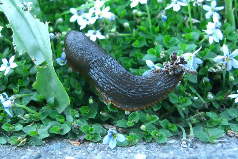 How to get rid of slugs with 3 foolproof ways to deter - How to get rid of slugs in garden ...